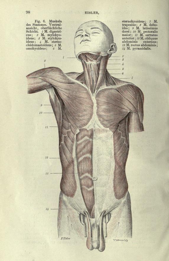 Handbuch der Anatomie des Menschen | Anatomy - Muscles | Pinterest ...