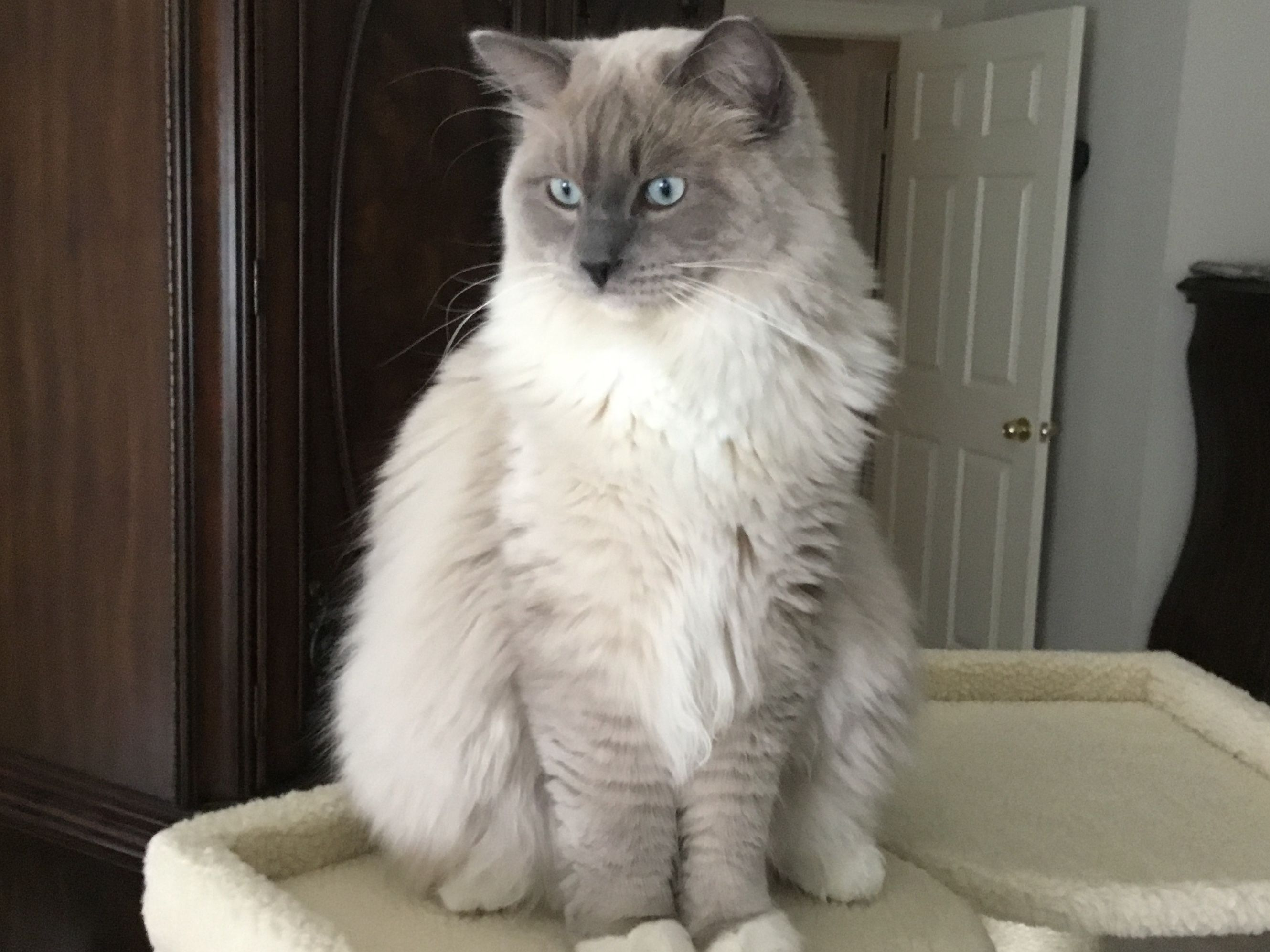 My Blue Mink Mitted Ragdoll Blue Valentino Looking Very Regal Ragdoll Cat Ragdoll Cats