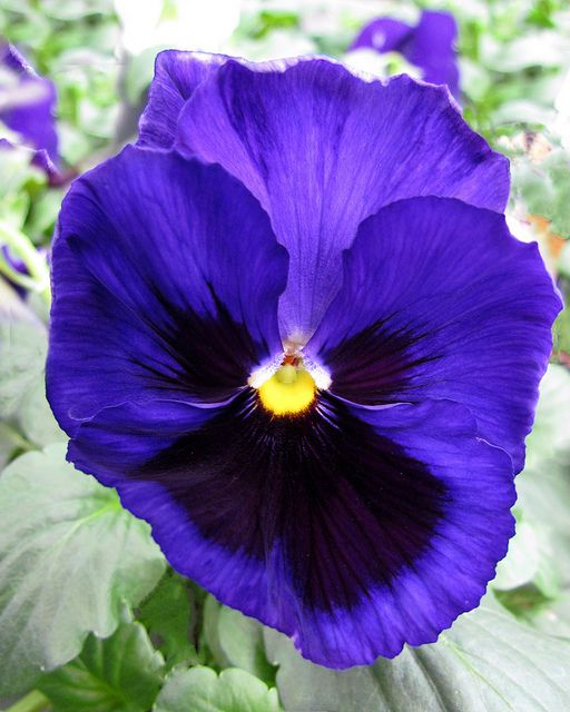 Vibrant Pansies Flowers Flower Seeds Pansies