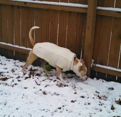 HANDMADE WOOL CABLE KNIT SWEATERS FOR YOUR FUR-LEGGED BFF....$40 @ http://www.fit4apit.com/chilly-dog-classic-cable-knit-sweater/#ProductReviews  (scroll down to review #4 -  They have lots of styles for all dog types....great site - WWE)