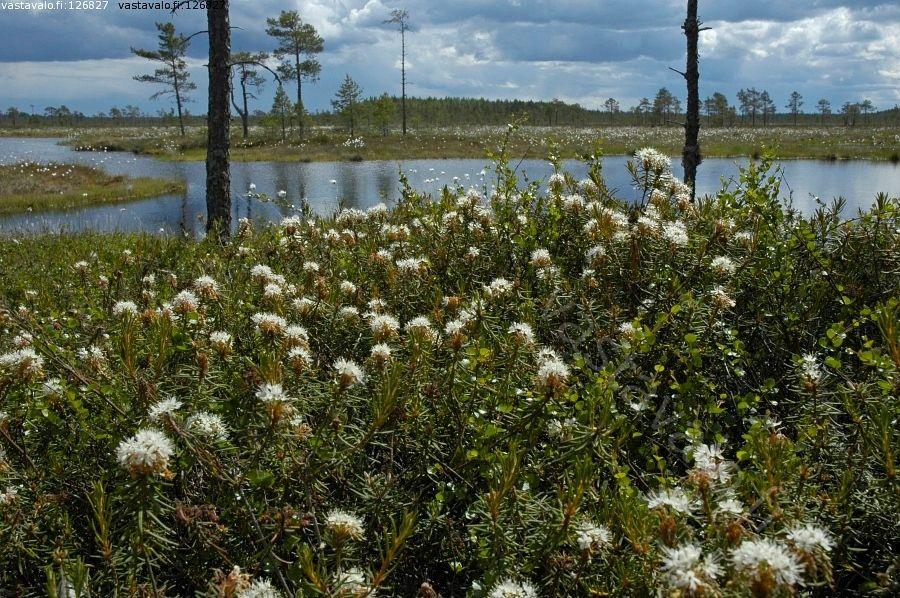 Suopursu - suopursu kukka varpu kasvupaikka kasvuympäristö suo kosteikko räme keidassuo siikainen haapakeidas tupasvilla alkukesä. Finnish swamp.