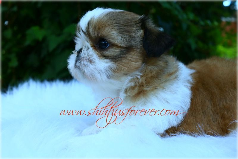 Imperial Shih Tzu Puppies Imperial Shih Tzu Puppies For Sale