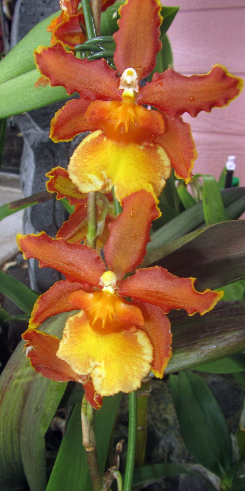 Orangeyellow orchid flowers and orchid plants
