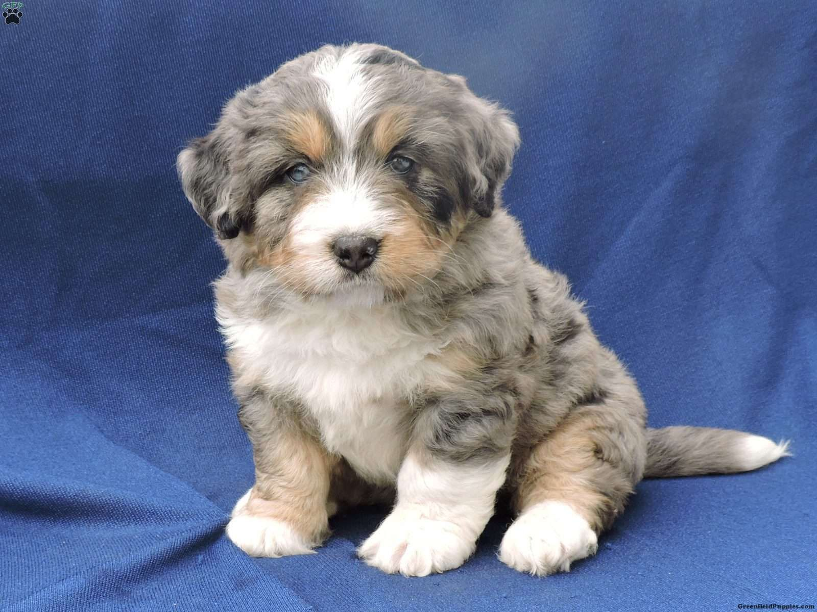 Max Mini Bernedoodle Puppy For Sale in Ohio Dogs