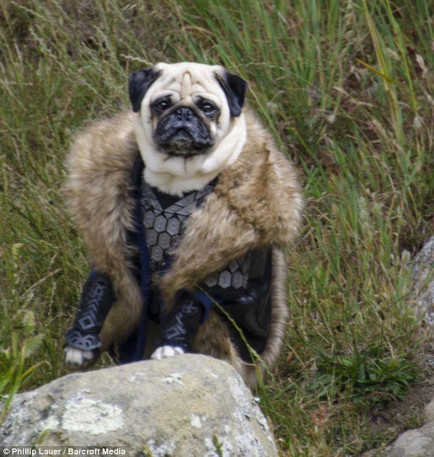 Heel Gandalf Dog Owner Dresses His Pet Pugs In Hilarious Costumes