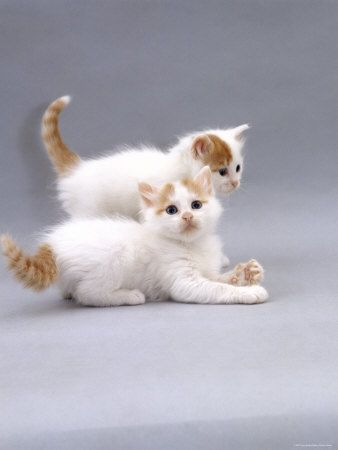 Rare Types Of Turkish Van Cats Kittens In 2020 Turkish Van Cats Domestic Cat Kittens Cutest