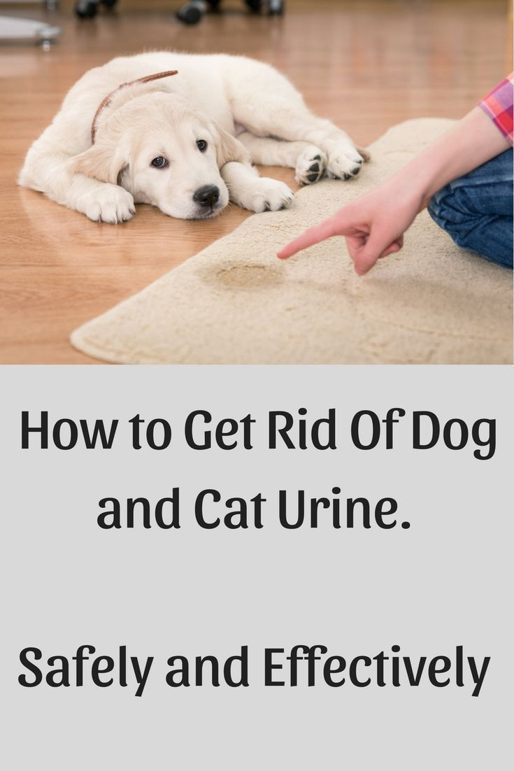 Getting dog urine out of carpet cleaning up dog urine