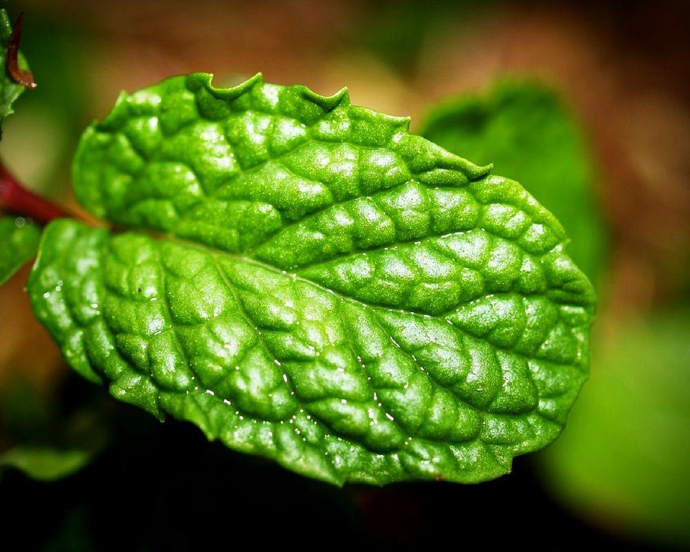 17 Remarkable Benefits Of Yerba Buena Medicinal Plants Healing