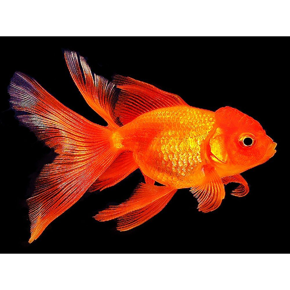 Diamond Painting Full Drill Square Round A Goldfish Mosaic Diy Diamond Painting Cross Stitch Embroider Oranda Goldfish Aquarium Fish For Sale Goldfish For Sale