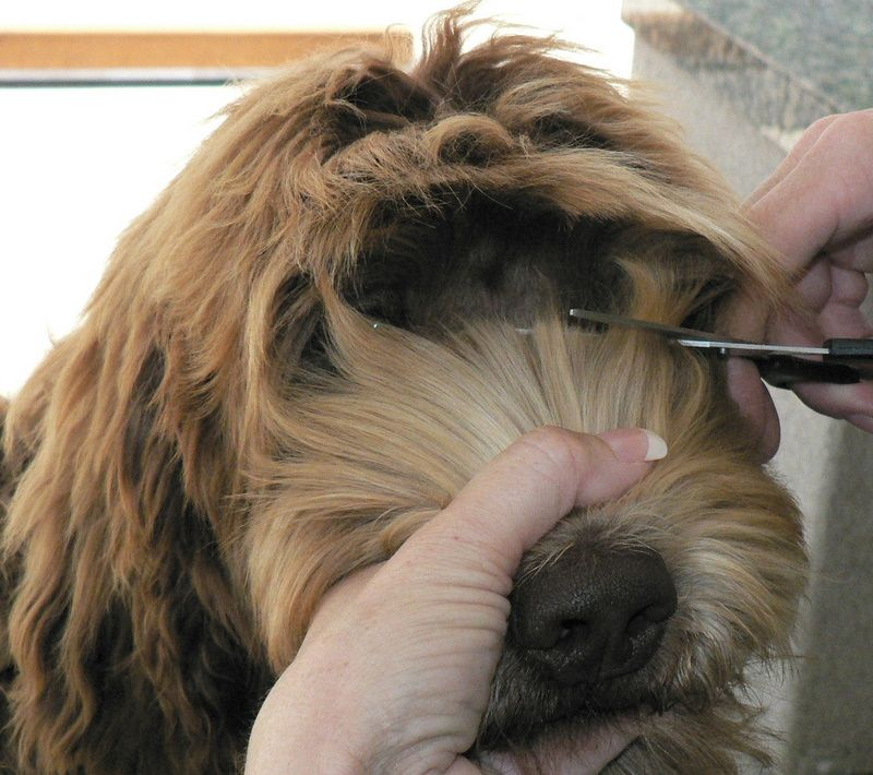 Haircuts For Goldendoodles Pictures: Taylors SC Australian Labradoodles