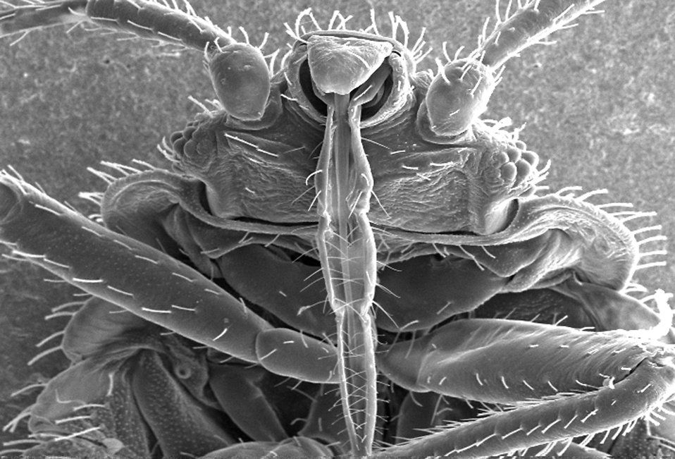 Bed Bugs Develop Thicker Skin to Resist Insecticides