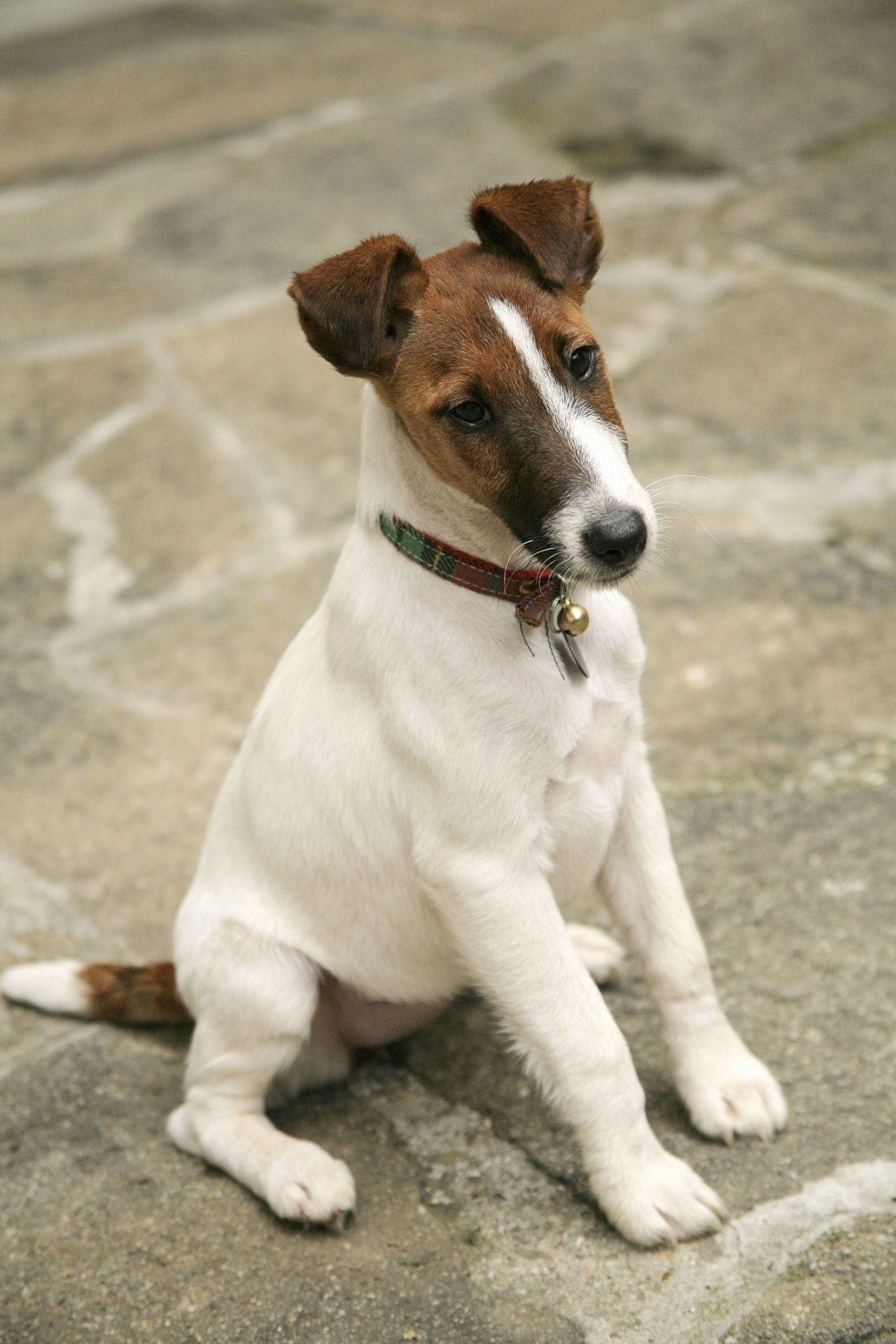 Smooth Fox Terrier Dog breeds