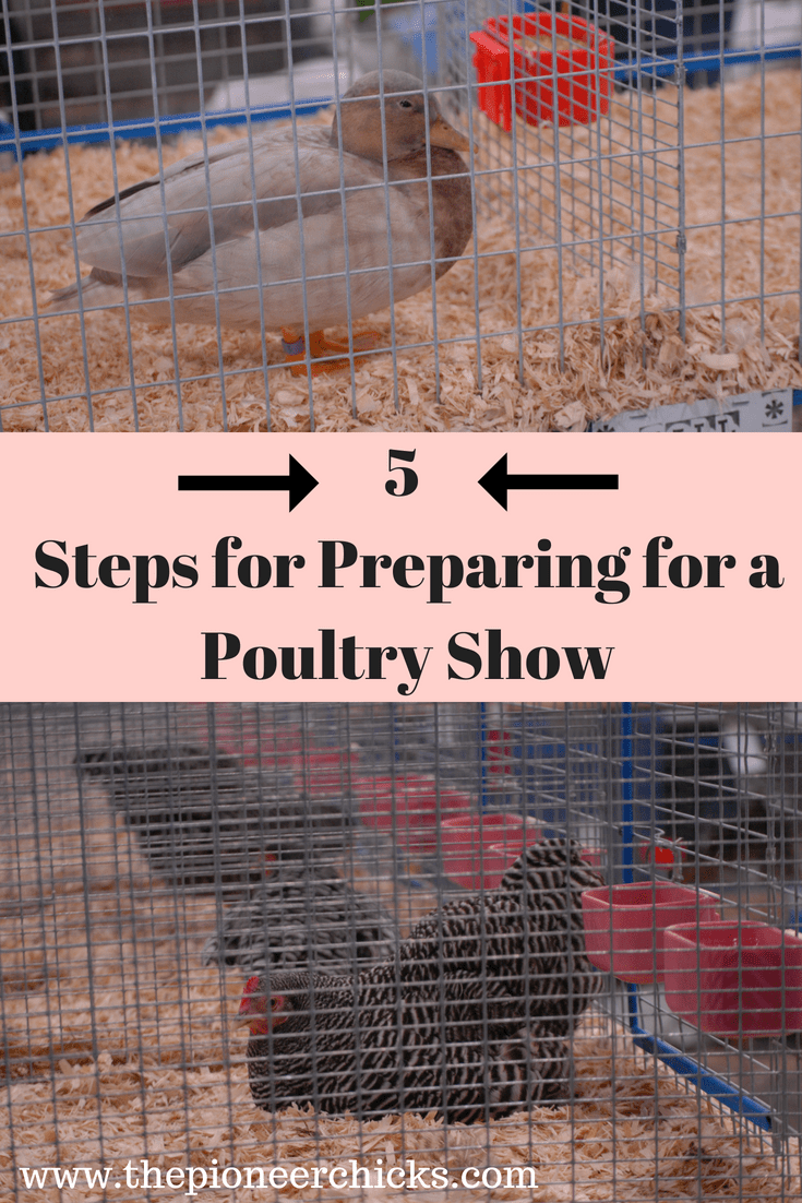 5 Steps For Preparing A Show Chicken The Pioneer Chicks