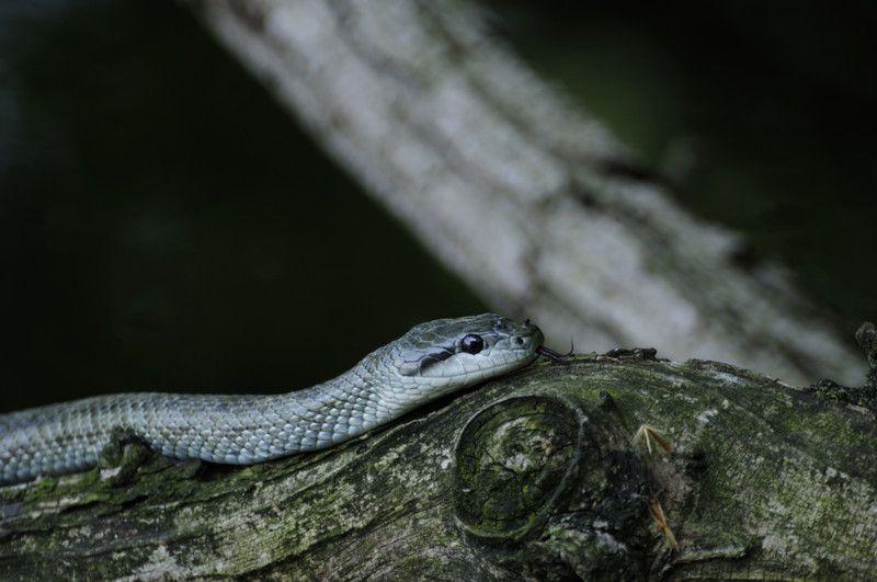 アオダイショウ シマヘビの飼い方 マウスの給餌や飼育容器の注意点 アオダイショウ シマヘビ 給餌