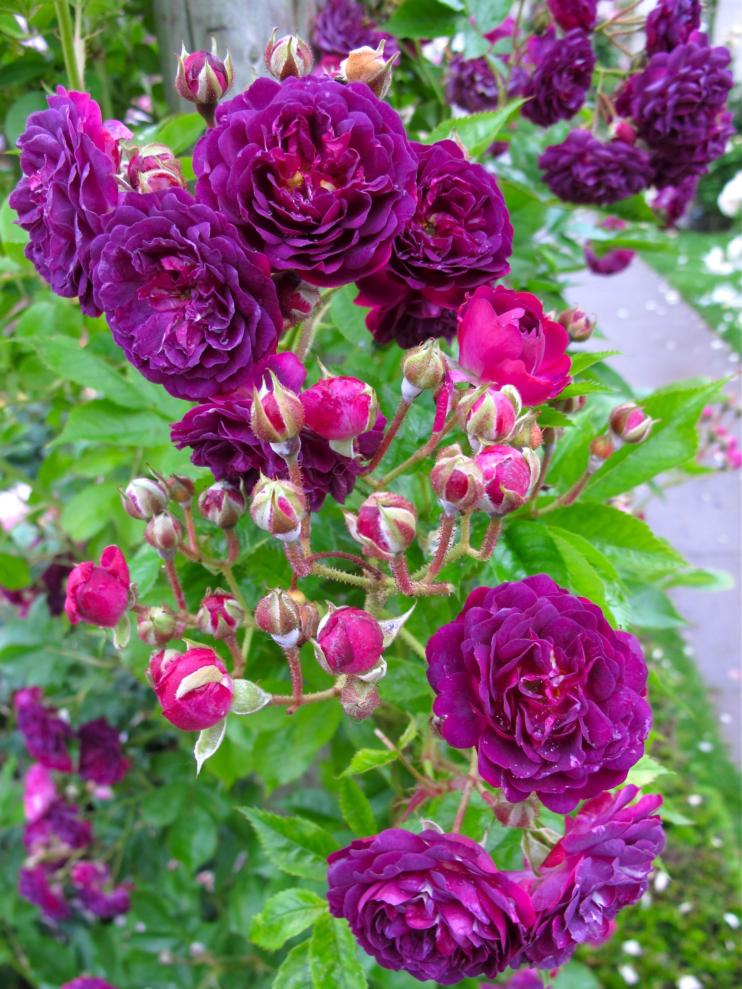 bleu magenta' rambling rose | garden | pinterest | magenta, rose
