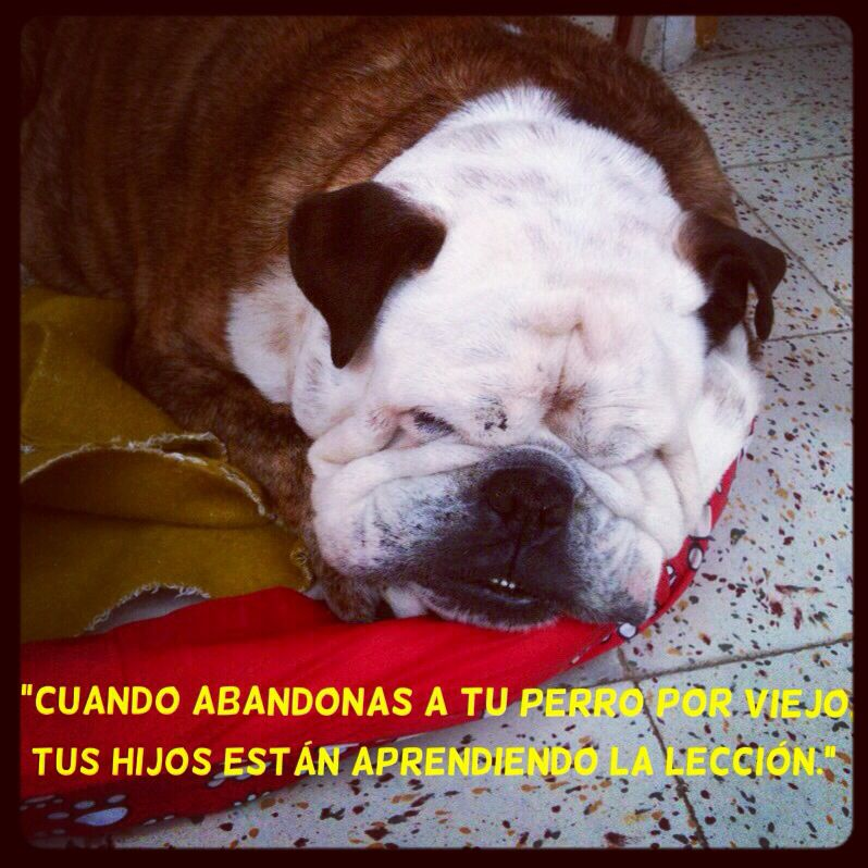 """Gaspar mi #BulldogIngles #Frases #Perros #Quotes #Dogs  """"When you abandon your dog because it is old, your children are learning the lesson."""""""