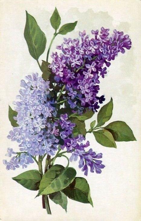 purple lilac flowers vintage botanical print botanic. Black Bedroom Furniture Sets. Home Design Ideas