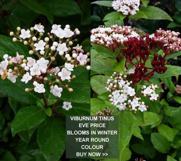viburnum tinus eve price winter flowering shrub for sale. Black Bedroom Furniture Sets. Home Design Ideas