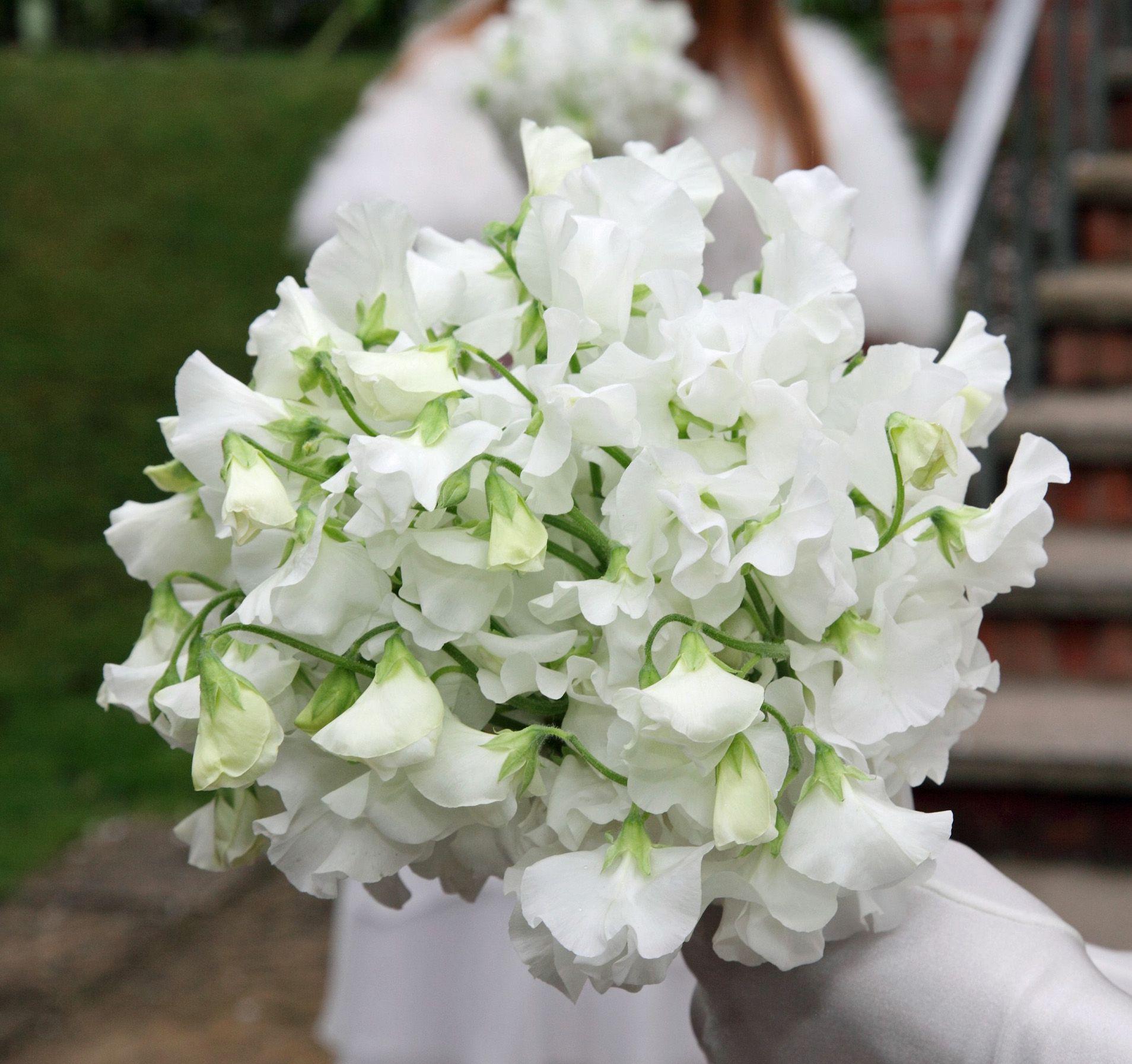 Simple white sweet peas White flowers PinterestWhite Sweet Pea Flower
