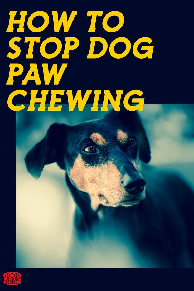 5 Ways How to Stop a Dog From Chewing Paws Dog chewing