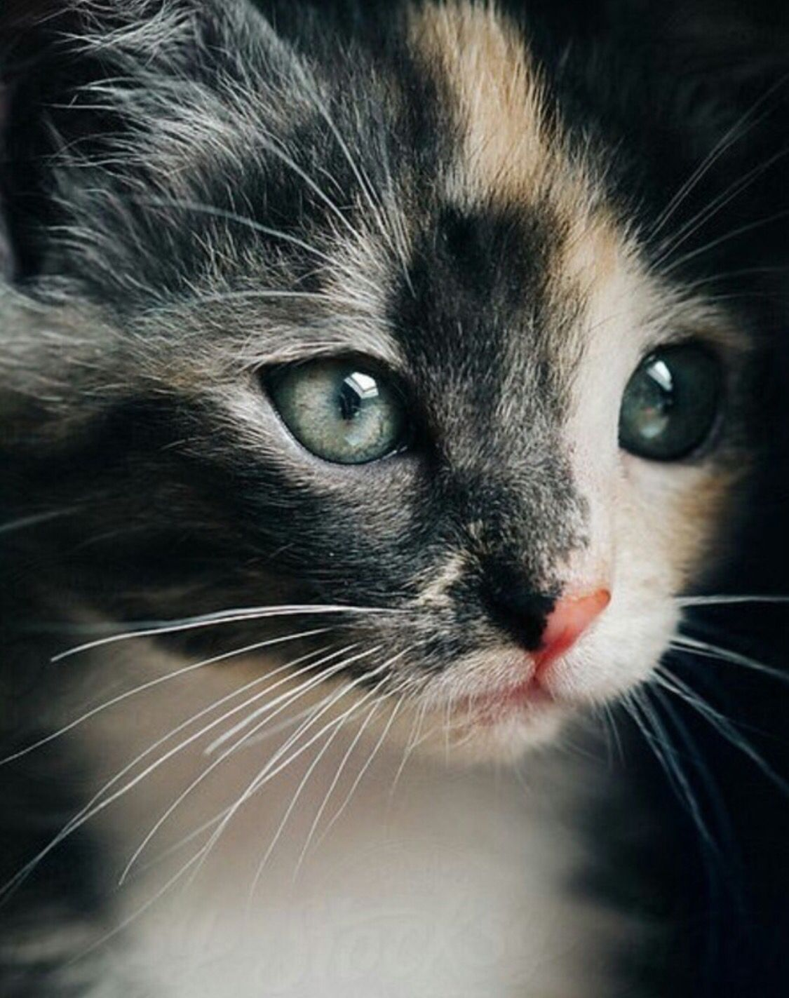 Pin By Sally Swailes On Cute Cats Calico Kitten Kittens Cutest Kittens