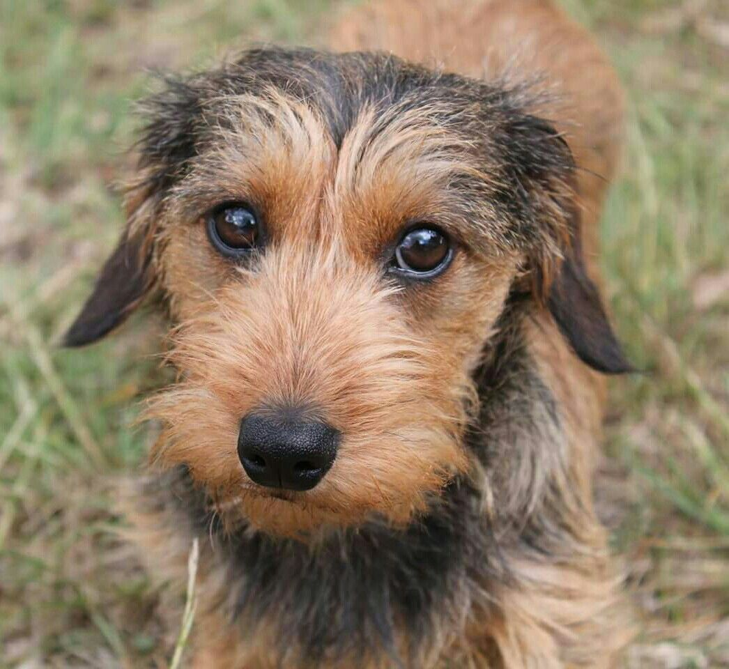 Pin By Marlene Mescher On Wire Haired Dachshund Wire Haired