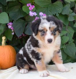 Merlin Australian Shepherd Puppy For Sale In Aaronsburg Pa