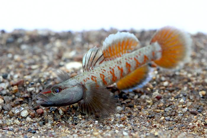 Rhinogobius zhoui i adore gobies there are a whole for Freshwater goby fish