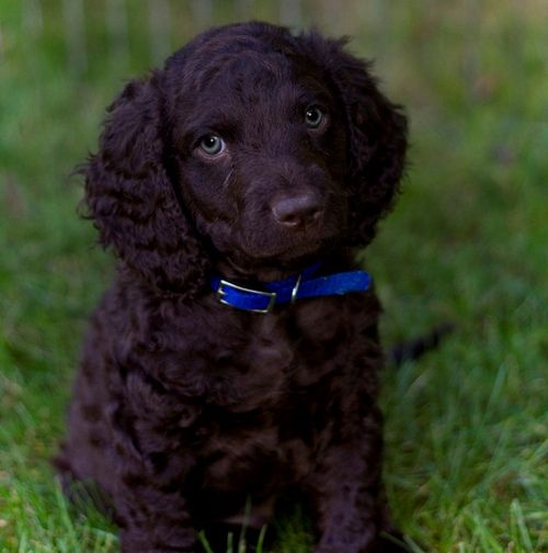 Irish Water Spaniel Puppy American Water Spaniel Spaniel Puppies Irish Water Spaniel