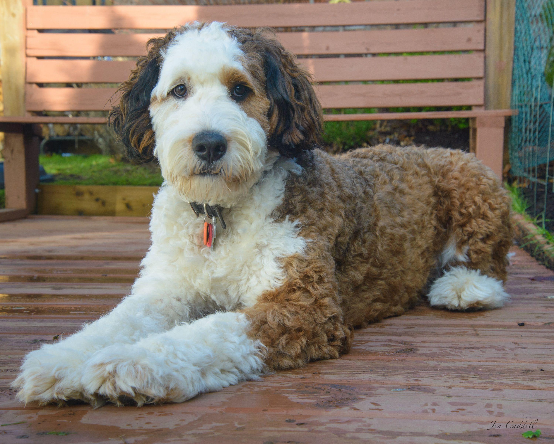 Sadie The Standard Bernedoodle 12 Months 87 Lbs