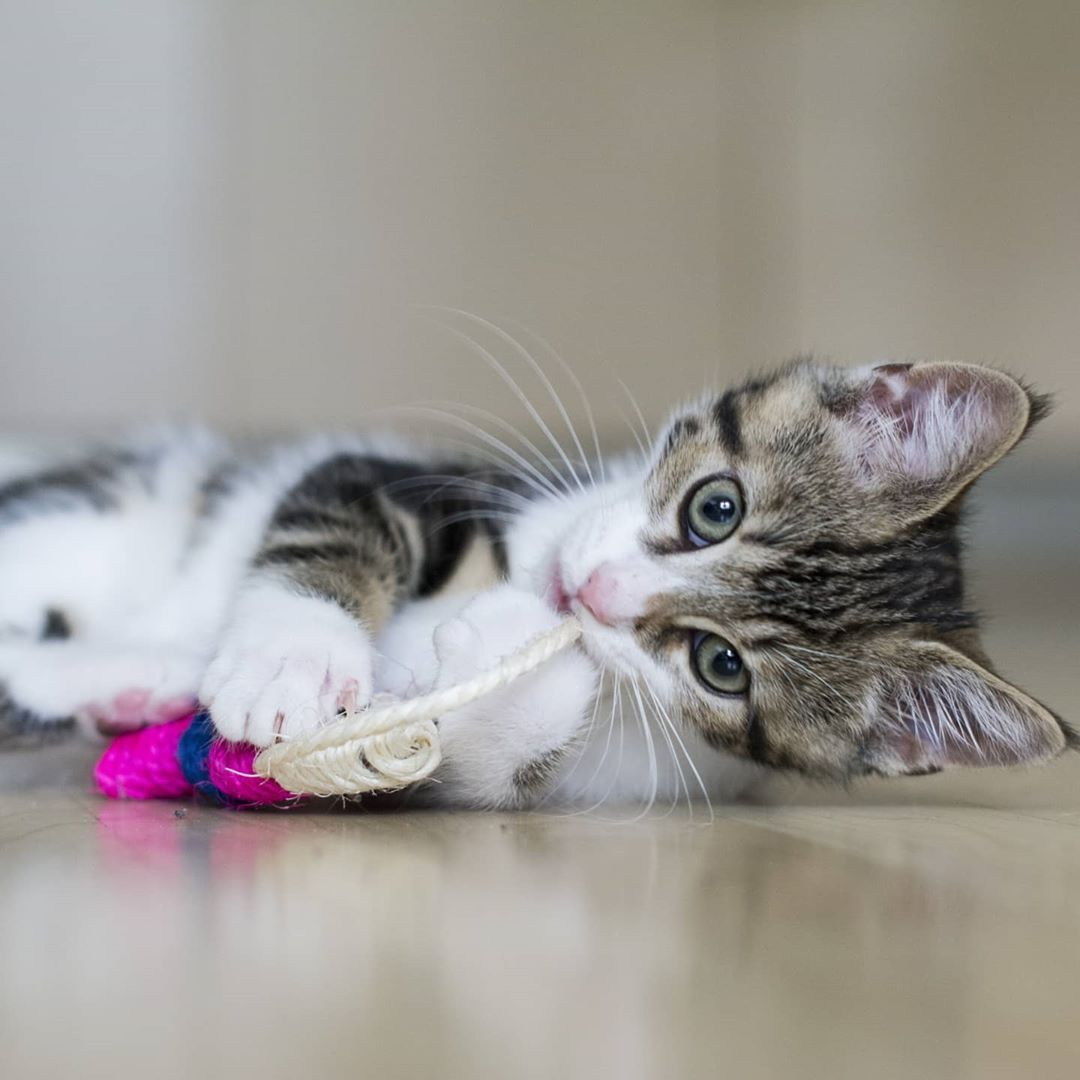 Playfull Kitten Playtime Fishing Toy Yummy Scratching Chillvibes Hotday Autumnvibes Icat Cats Of Day Gato In 2020 Cute Cats Cats Of Instagram Cat Lovers