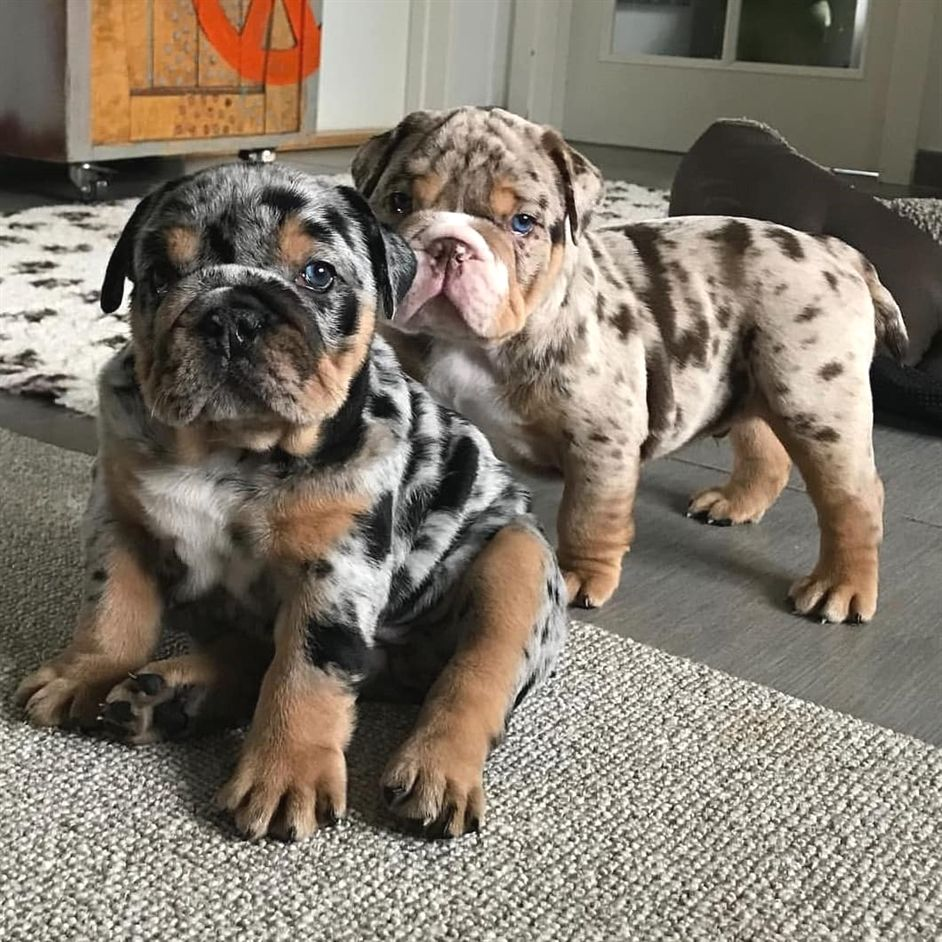 Look At These Colors On Bulldog Puppies Cute Pet Dogs Cute