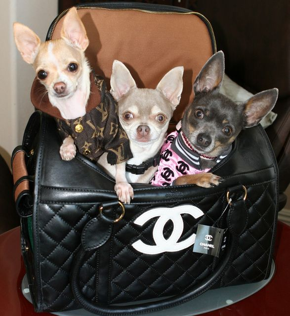 What S Better Than A Purse Full Of Chihuahuas Lol Chihuahua