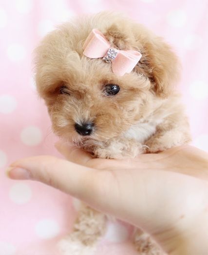 Toy Poodle Toy Poodle Puppy For Sale In South Florida Poodle