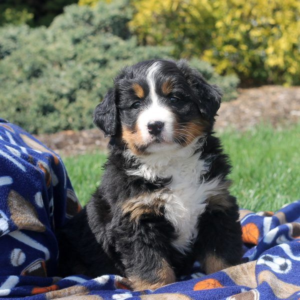 Maci Bernese Mountain Dog Puppy For Sale In Pennsylvania Bernese Mountain Dog Bernese Mountain Dog Puppy Dogs