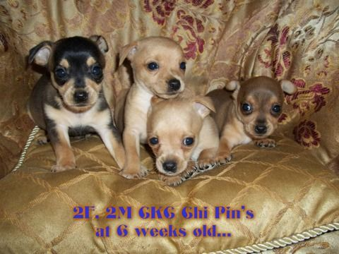 Ckc Chi Pin Puppies My Puppies Chihuahua Puppies For Sale