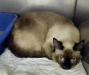 Alexis Siamese Cat Atlanta Ga Cats Pets Local Shelters
