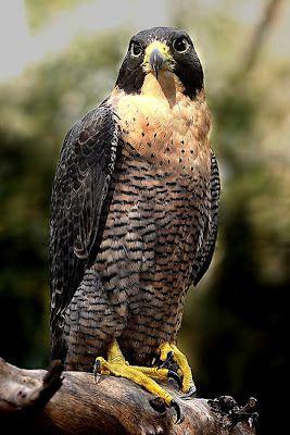 Falco Peregrinus Falco Peregrinus Halcon Peregrino Peregrino