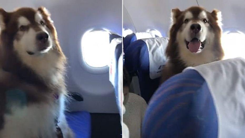 Large Fluffy Emotional Support Dog Melts Hearts On Plane And Online Emotional Support Dog Giant Fluffy Dog Fluffy Dogs