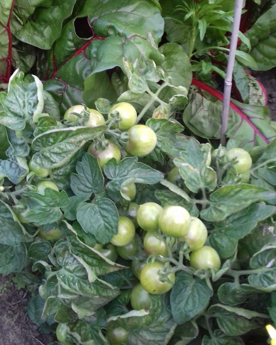 Tomatenstrauch Was Habt Ihr So Im Garten Angepflanzt Tomaten Rot Grun Strauch Garten Eigeneernte Gemu Garten Deko Garten Anpflanzen Tomatenstrauch