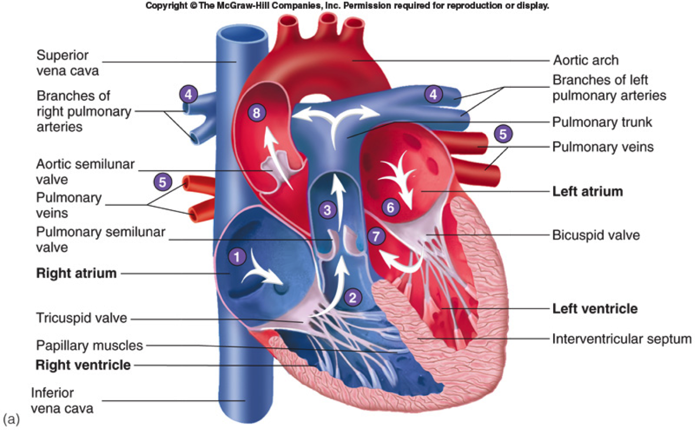 medium resolution of parts of the heart