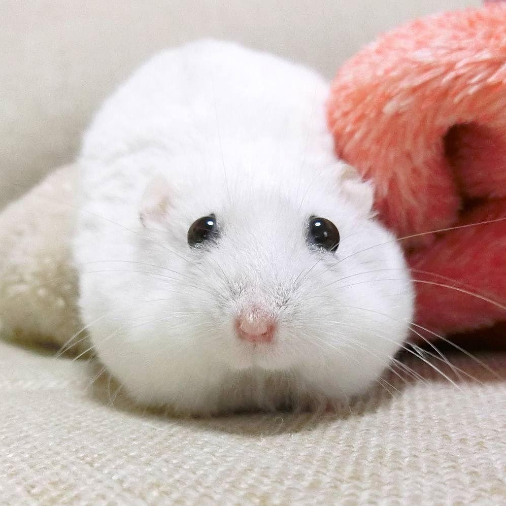 おはよー お目目よい感じになってきたよぉ ありがとでしゅ  #ジャンガリアンハムスター#ジャンガリアン#ハムスター#パール#パールホワイト#可愛い#もふもふ #うー吉#家族#cute#family#Djungarianhamster#hamster#animal#pet#ペット #ふわもこ部#hamstergram#hammy#love#animal#dwarfhamster#happy_pets#hammy#kaumo by ushikichi