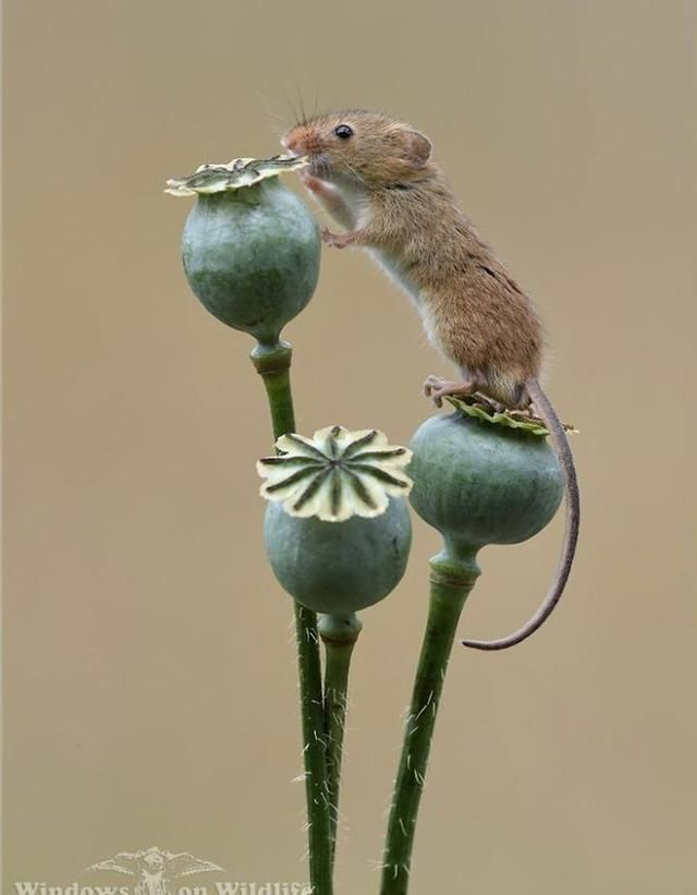 49 Photos Of Adorable Harvest Mice Playing Among Plants