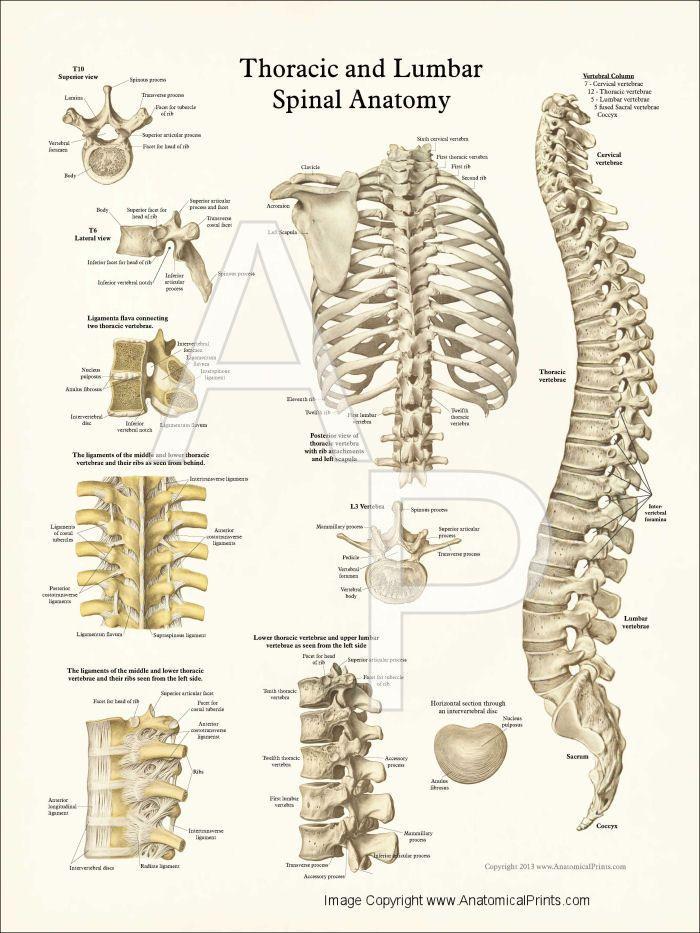 Thoracic vertebral body anatomy