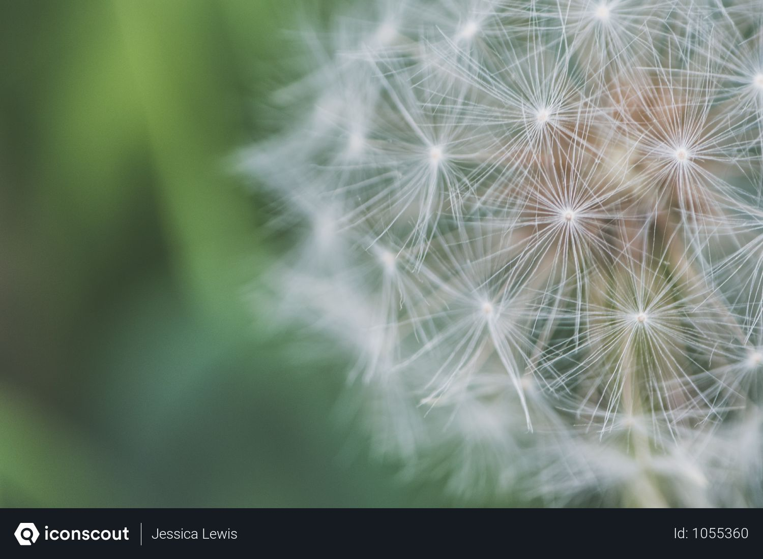 Free Close Up Photo Of Dandelion White Flower In Garden Photo Download In Png Jpg Format Bright Wallpaper Dandelion Flower White Dandelion
