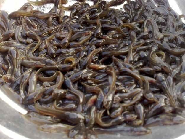 Raise Catfish Fingerlings Cart Millions Of Naira