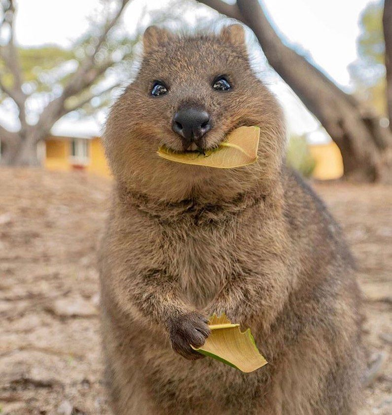 This cute quokka eating a leaf Music IndieArtist