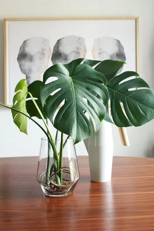 Growing Monstera In Water Forever Plants Water Plants Indoor Growing Plants Indoors