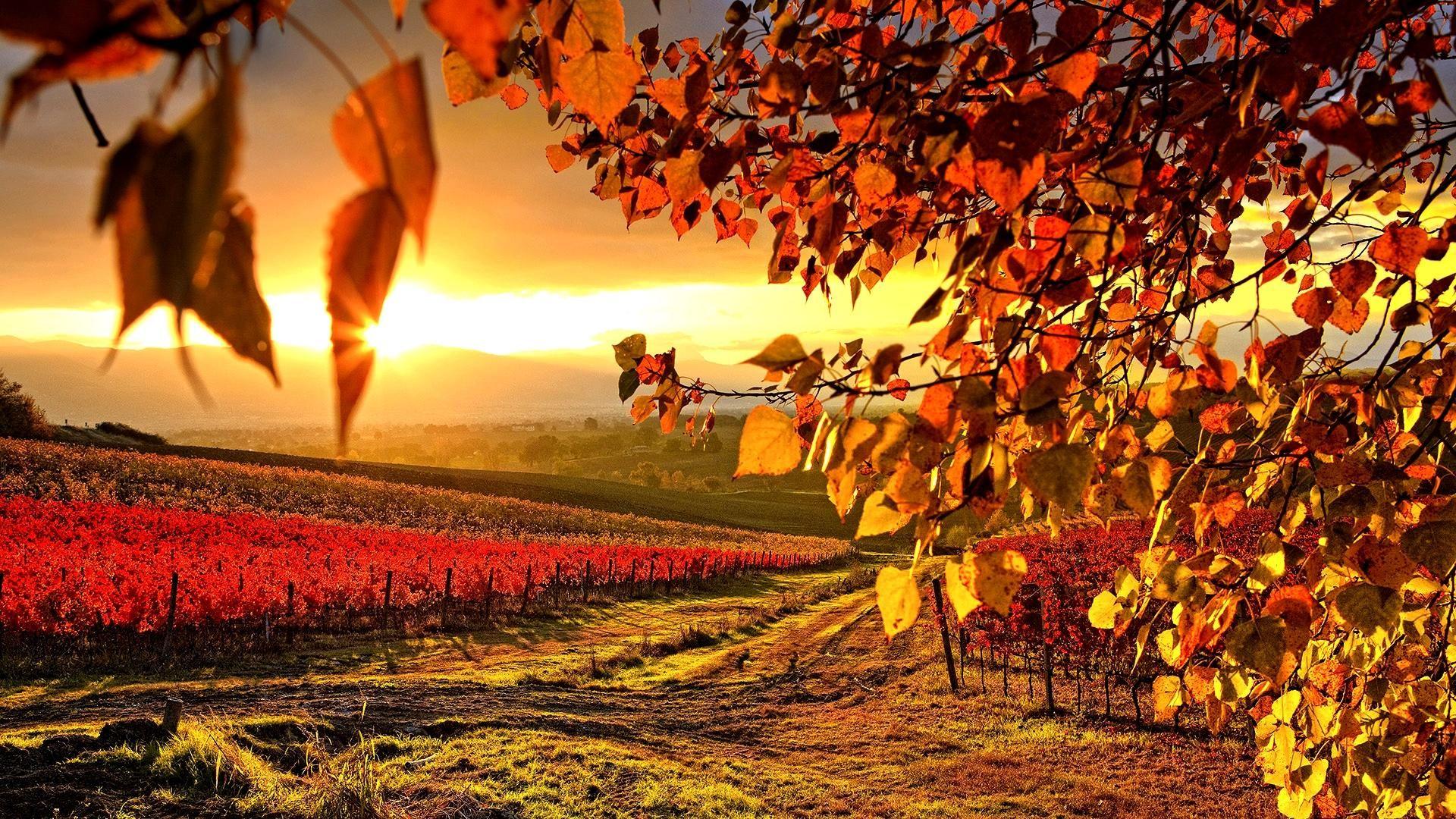 Vineyard Couleur Automne Paysage Photos