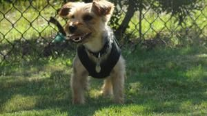 Minnie is an adoptable Yorkshire Terrier Yorkie Dog in Boiling Springs, PA. Posted 8/10/2013. Minnie is a Yorkshire Terrier mix, adult female, about 11 pounds. Despite her small nature, her personalit...
